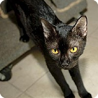 Domestic Shorthair Cat for adoption in Thibodaux, Louisiana - Stella FE2-9052