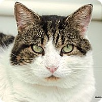 Domestic Shorthair Cat for adoption in St Louis, Missouri - Butch