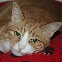 Domestic Shorthair Cat for adoption in North Branford, Connecticut - Cricket (lap cat)