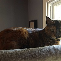 Domestic Shorthair Cat for adoption in Berkeley Hts, New Jersey - Haley