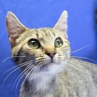 Domestic Shorthair Cat for adoption in Winston-Salem, North Carolina - Maricat