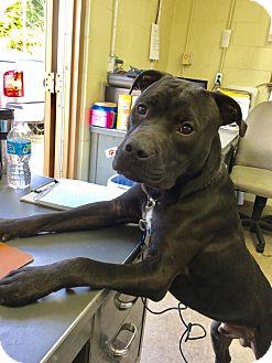 Pit Bull Terrier/Labrador Retriever Mix Dog for adoption in Cadiz, Ohio - OSO
