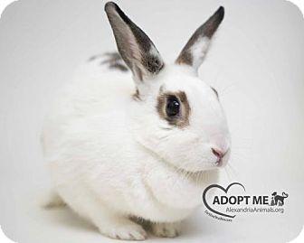 English Spot for adoption in Alexandria, Virginia - Calix