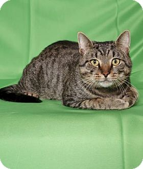 Domestic Shorthair Cat for adoption in Gloucester, Virginia - BROWNIE