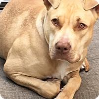Adopt A Pet :: Carmelo - Encino, CA