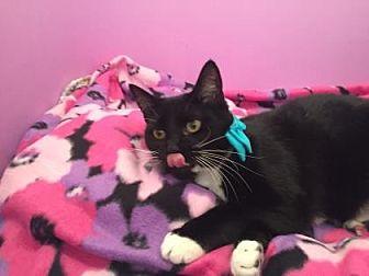 American Shorthair Kitten for adoption in Santa Fe, Texas - Fiona