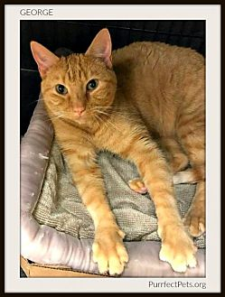 Domestic Shorthair Cat for adoption in Overland Park, Kansas - George