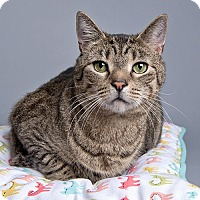 Domestic Shorthair Cat for adoption in Wilmington, Delaware - Garth