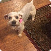 Adopt A Pet :: Ginny - Little Rock, AR