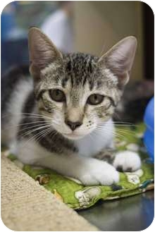 Domestic Shorthair Kitten for adoption in New Port Richey, Florida - Whitney