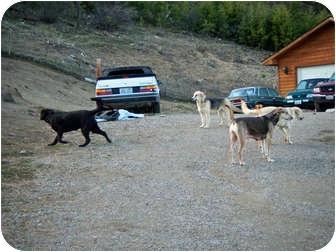 Labrador Retriever Mix Dog for adoption in Shoreline, Washington - Big Dog Fosters Needed