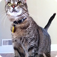 American Shorthair Cat for adoption in Brooklyn, New York - LadyBird