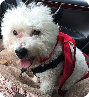 Bichon Frise Dog for adoption in Holland, Michigan - Cody