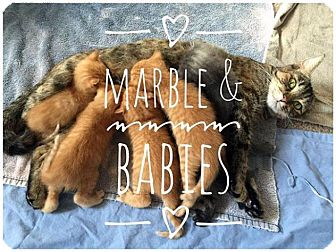 Domestic Shorthair Kitten for adoption in Fort Leavenworth, Kansas - Granite(Marble's Babies