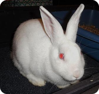 Florida White for adoption in Newport, Kentucky - Skylar