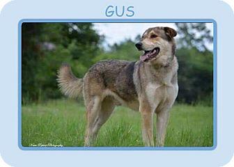 Anatolian Shepherd/Husky Mix Dog for adoption in Dallas, North Carolina - GUS
