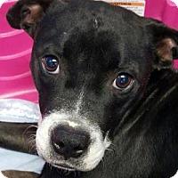 Boston Terrier/Boxer Mix Dog for adoption in Pompton Lakes, New Jersey - Asia