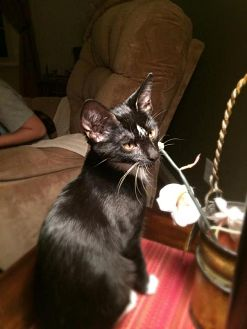 Domestic Shorthair Cat for adoption in Crown Point, Indiana - Snip