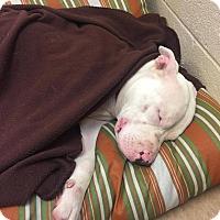 Adopt A Pet :: CeCe - Glastonbury, CT