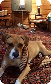 Boxer Mix Dog for adoption in Rowayton, Connecticut - Florence Calm Gentle Cat-Friendly Girlie