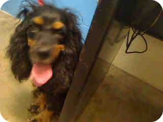 Cocker Spaniel Mix Dog for adoption in Antioch, Illinois - Corkie ADOPTED!!