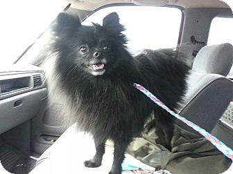 Pomeranian Dog for adoption in Las Vegas, Nevada - Ladybug