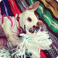 Adopt A Pet :: Little Susie - North Hollywood, CA