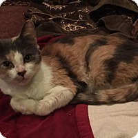 Domestic Mediumhair Cat for adoption in Philadelphia, Pennsylvania - Jubilee