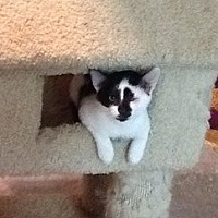 Domestic Mediumhair Cat for adoption in Houston, Texas - Candy