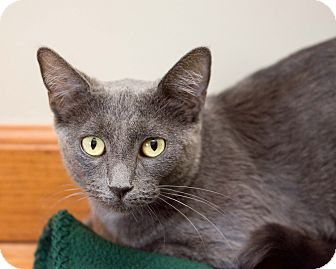 Domestic Shorthair Cat for adoption in Fountain Hills, Arizona - Princess