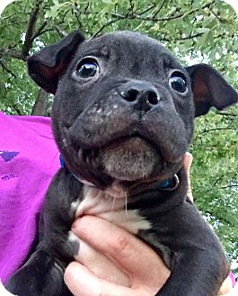 American Staffordshire Terrier Mix Puppy for adoption in Grand Rapids, Michigan - Ron