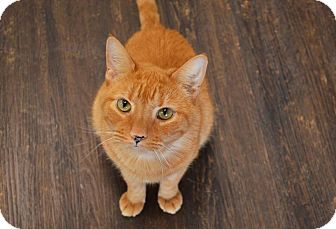 Domestic Shorthair Cat for adoption in Philadelphia, Pennsylvania - CINNAMON!