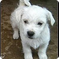 Adopt A Pet :: Lemon Meringue - Los Angeles, CA