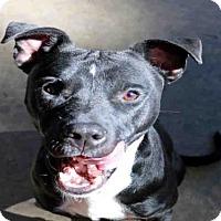 Pit Bull Terrier Dog for adoption in Fort Walton Beach, Florida - BLACK