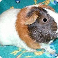 Adopt A Pet :: Leo - Steger, IL