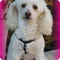 Adopt A Pet :: Sasha - Anaheim Hills, CA