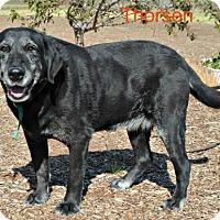 Adopt A Pet :: Thorsen - Yreka, CA