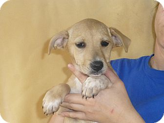 Beagle Mix Puppy for adoption in Oviedo, Florida - Becky