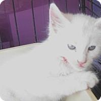 Adopt A Pet :: Cottonball - Dallas, TX