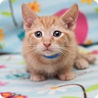 Adopt A Pet :: King Kris - Shelton, WA