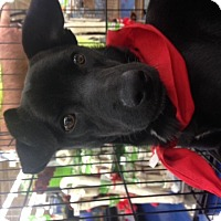 Labrador Retriever/Terrier (Unknown Type, Medium) Mix Dog for adoption in Fort Worth, Texas - Jacob