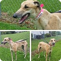 Adopt A Pet :: Kiowa Sara Sue - Knoxville, TN