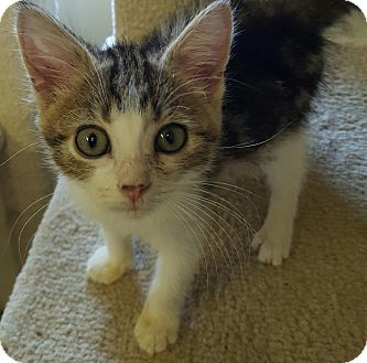 Domestic Shorthair Kitten for adoption in Owenboro, Kentucky - DASH!