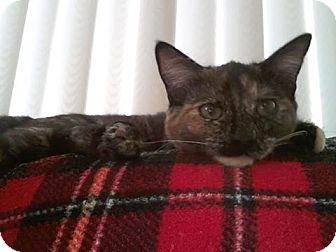 Domestic Shorthair Cat for adoption in Idyllwild, California - Olivia
