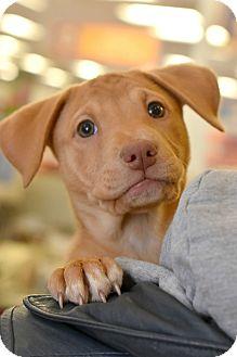 Shepherd (Unknown Type) Mix Puppy for adoption in Chicago, Illinois - Flower