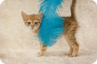 Domestic Shorthair Kitten for adoption in Tehachapi, California - Kittens, Kittens!!