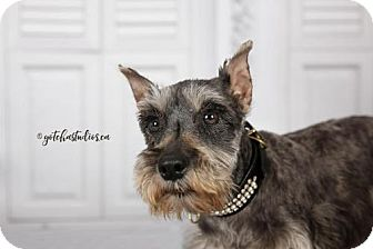Standard Schnauzer Dog for adoption in Toronto, Ontario - Lucy 3185