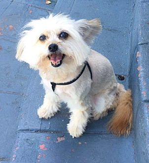 Maltese/Pomeranian Mix Dog for adoption in Hollywood, California - Lollie