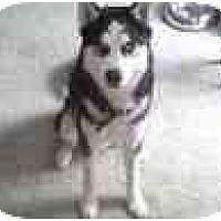 Adopt A Pet :: Loki - Jacksonville, NC