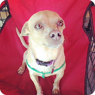 Dachshund/Chihuahua Mix Dog for adoption in North Hollywood, California - Will Ferrell